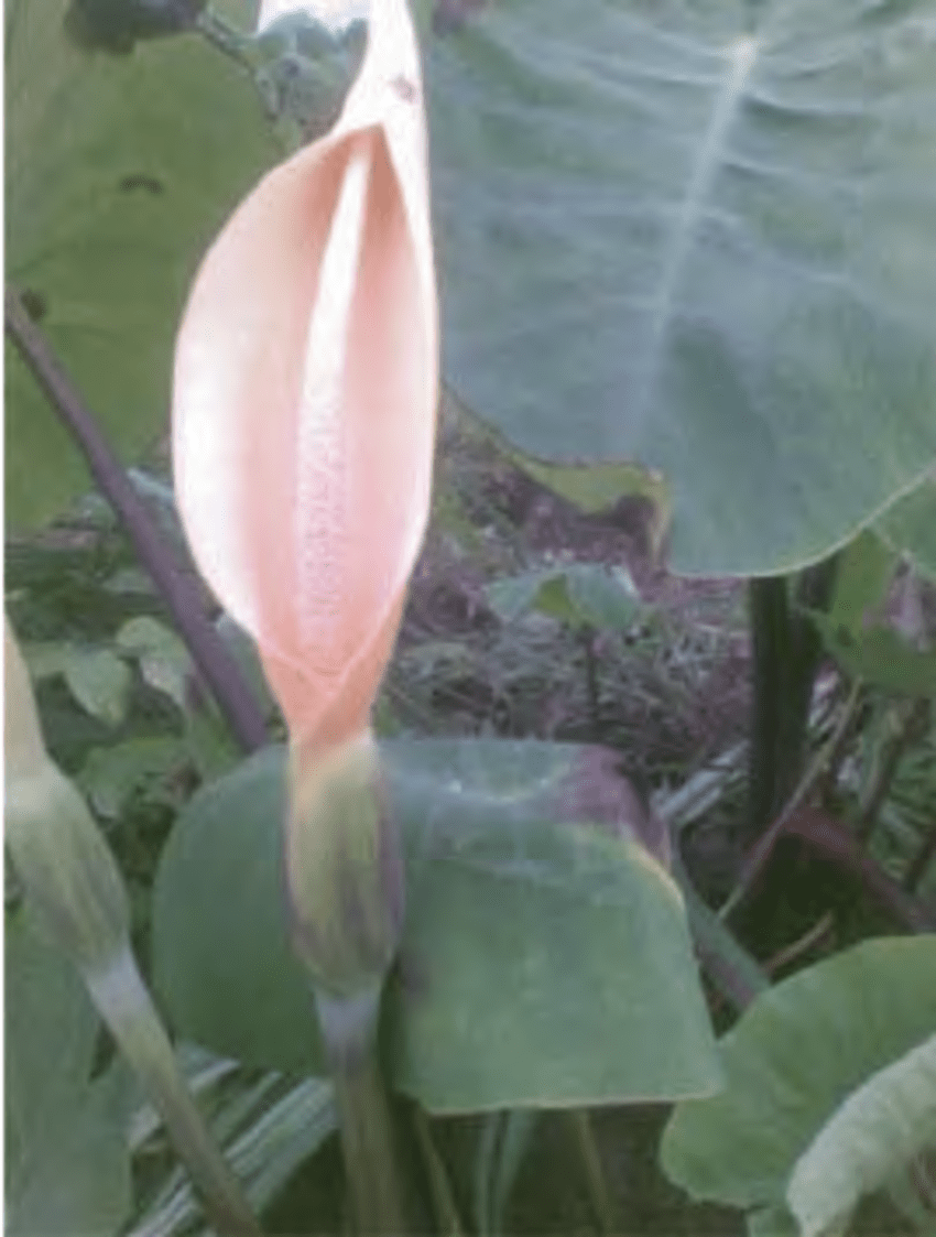 medium resolution of arum floral diagram