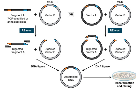 How do I create plasmid pictures showing golden gate cloning?