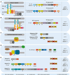 schema of the components of capsule biosynthesis genetic organization of the corresponding genes and [ 850 x 955 Pixel ]