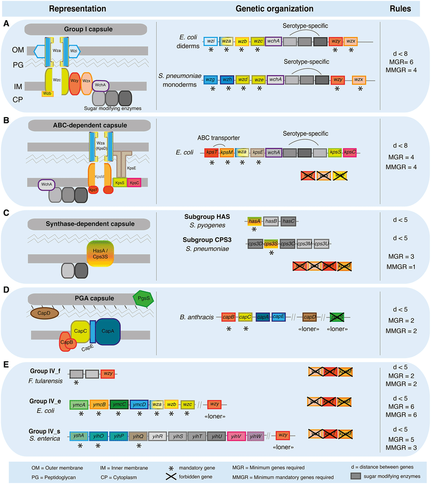 hight resolution of schema of the components of capsule biosynthesis genetic organization of the corresponding genes and
