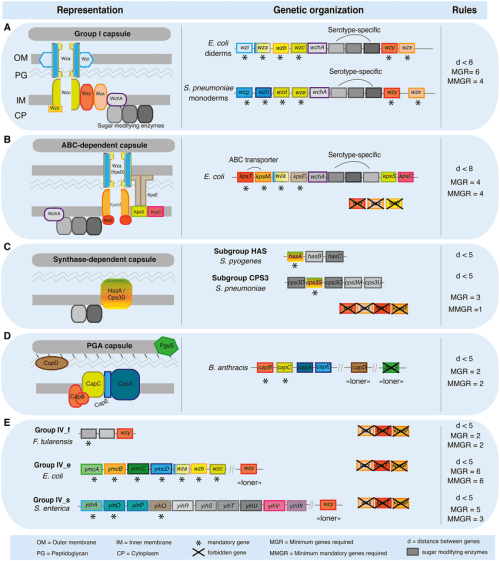 small resolution of schema of the components of capsule biosynthesis genetic organization of the corresponding genes and