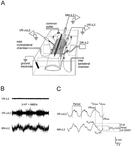 small resolution of a schematic drawing of the split bath preparation the spinal cord 6 8 segments light gray placed with the ventral side upward formed part of a