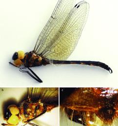 holotype of hemicordulia tenera donnellyi ssp nov a habitus b head download scientific diagram [ 850 x 1094 Pixel ]