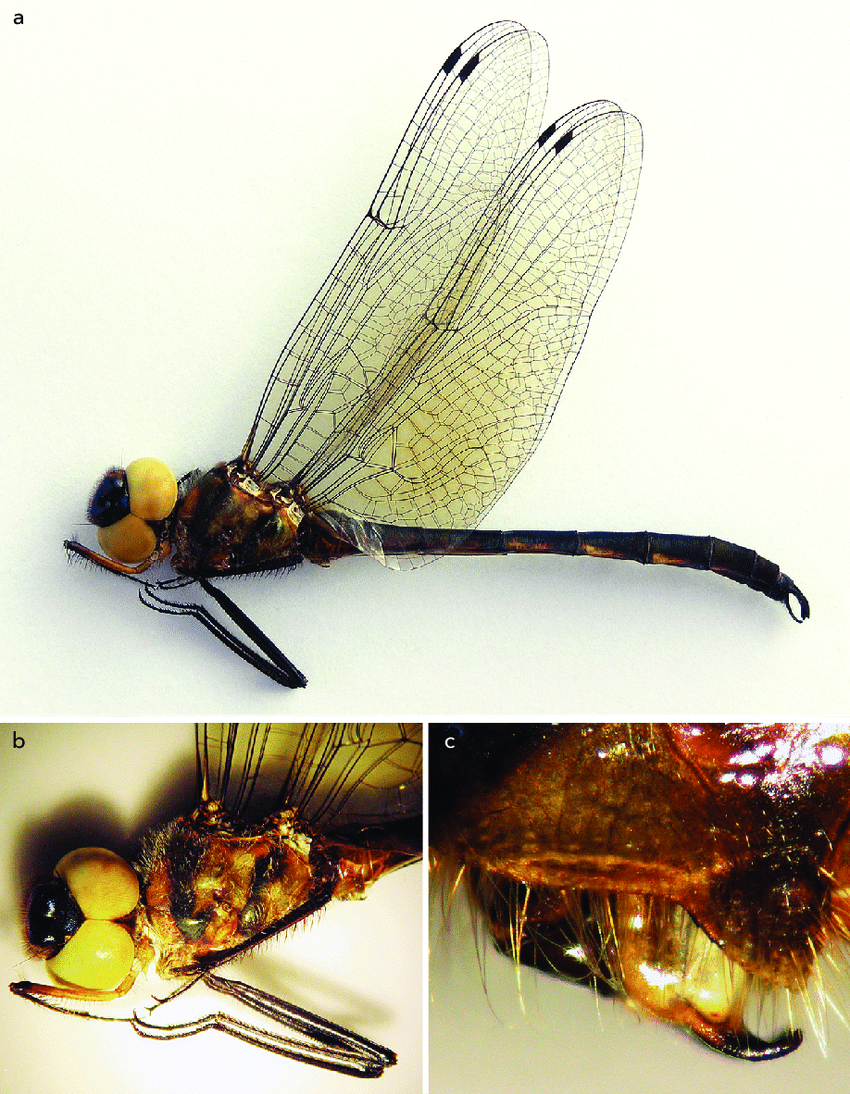 medium resolution of holotype of hemicordulia tenera donnellyi ssp nov a habitus b head download scientific diagram