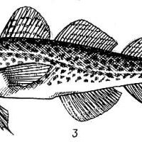 The ratio between the growth rate of the fish body and its