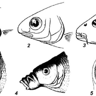 (PDF) Laboratory Manual on General and Special Ichthyology
