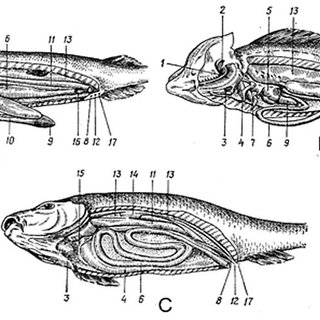 Different types of fish scales: 1-placoid scales; 2-ganoid