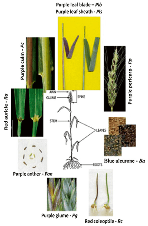 small resolution of 1 anthocyanin pigmentation of different parts of wheat plant the picture was taken from