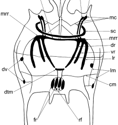 schematic drawing of the body wall musculature of brachionus quadridentatus as revealed by phalloidin tritc [ 850 x 1018 Pixel ]
