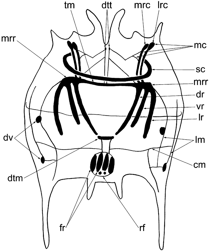 hight resolution of schematic drawing of the body wall musculature of brachionus quadridentatus as revealed by phalloidin tritc