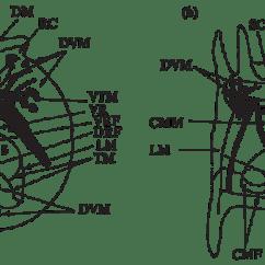 Rotifer Diagram Labeled Fender Jaguar Pickup Wiring Scheme Of Structure Musculature Rotifers A Testudinella Patina B