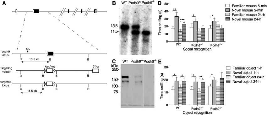 Generation of the Pcdh9-deficient mice and validation of