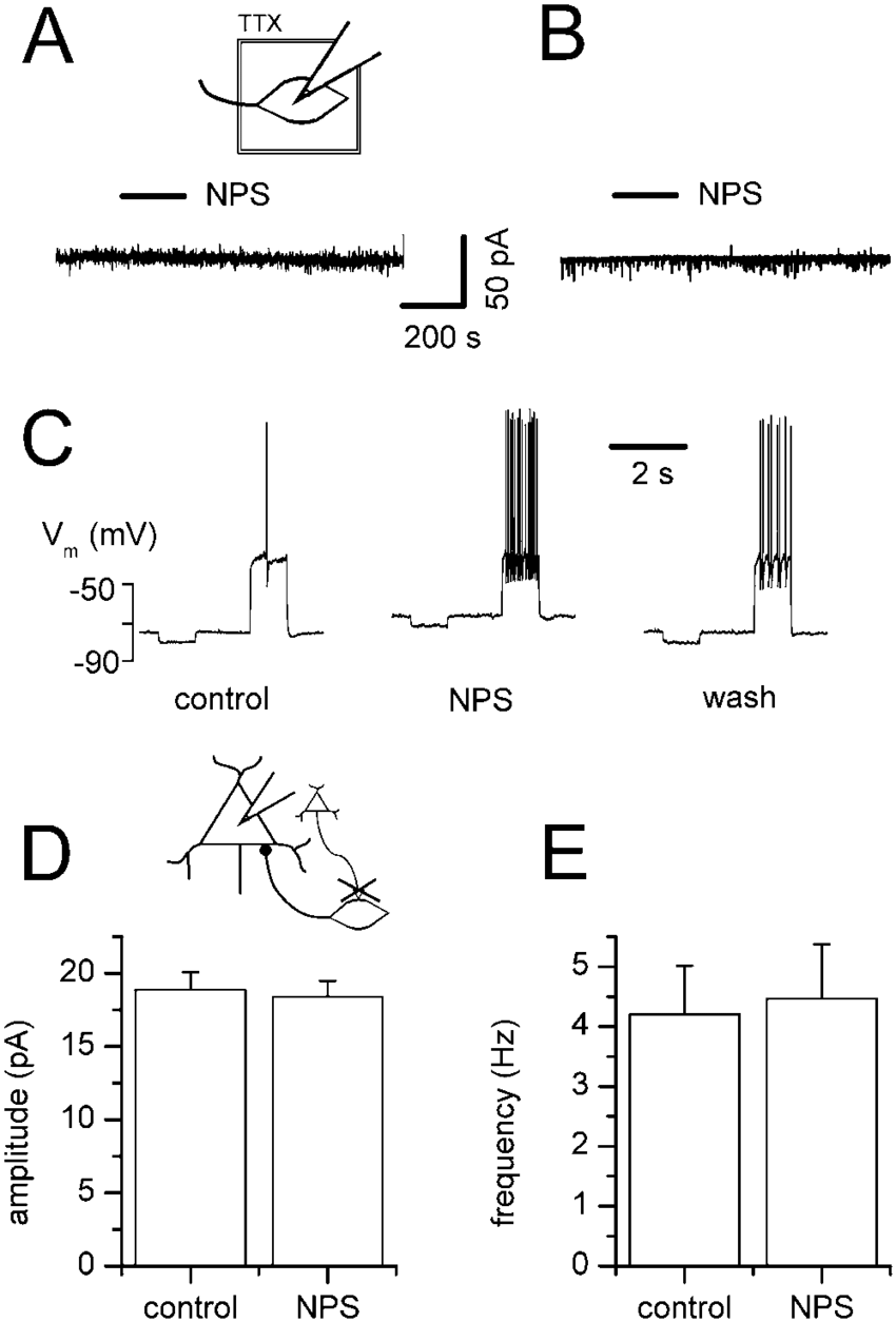 medium resolution of excitatory synaptic transmission is indispensable for the nps action