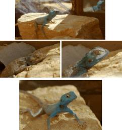 reaction of a captive pseudotrapelus sinaitus lizard to a mirror the download scientific diagram [ 850 x 983 Pixel ]