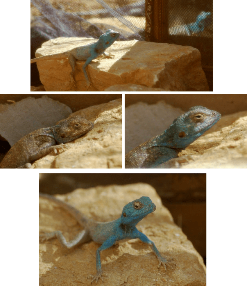 hight resolution of reaction of a captive pseudotrapelus sinaitus lizard to a mirror the download scientific diagram