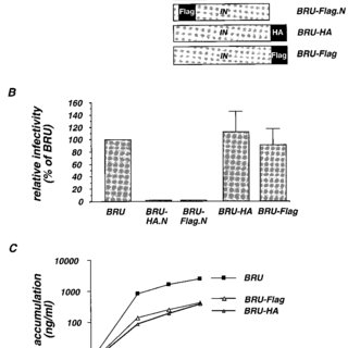 Detection of the tagged HIV-1 IN. (A and B) Western blot