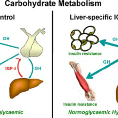 Liver Panel Diagram Clarion Radio Wiring Effects Of Depletion Igf-i On Carbohydrate Metabolism. Lack Of... | Download Scientific ...