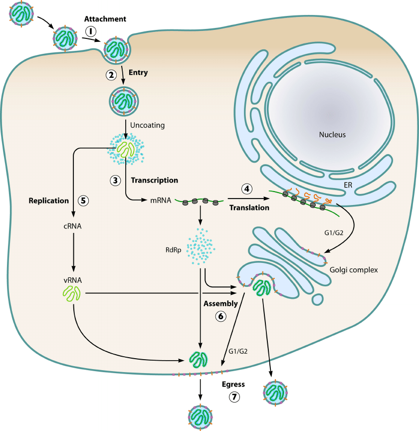The hantavirus life cycle. The basic steps include the attachment ...