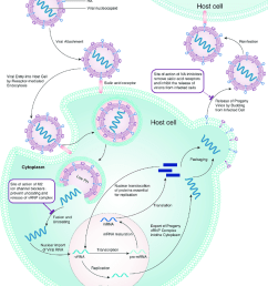 schematic diagram of the life cycle of influenza viruses showing the sites of action of the [ 850 x 1037 Pixel ]