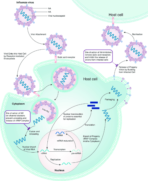 small resolution of schematic diagram of the life cycle of influenza viruses showing the sites of action of the