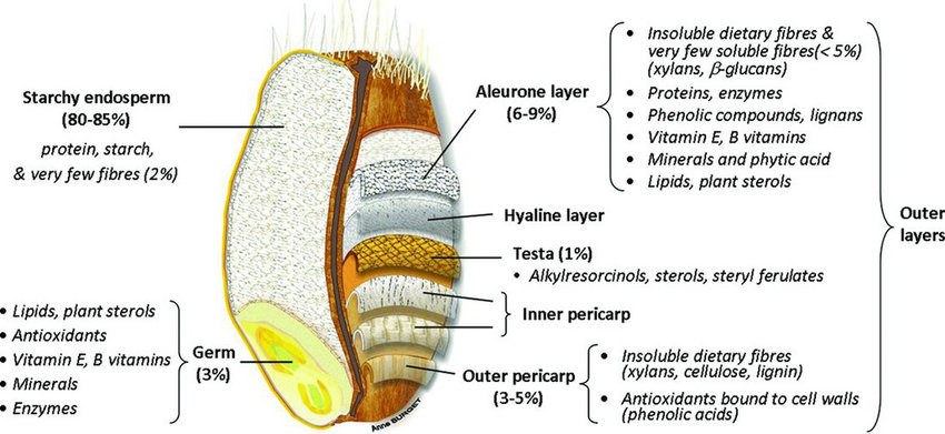 grain kernel diagram plant root hair wheat structure. adapted from surget & barron (2005) and brouns... | download scientific ...