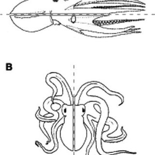 Section in sagittal plane of the gonad of an Octopus maya