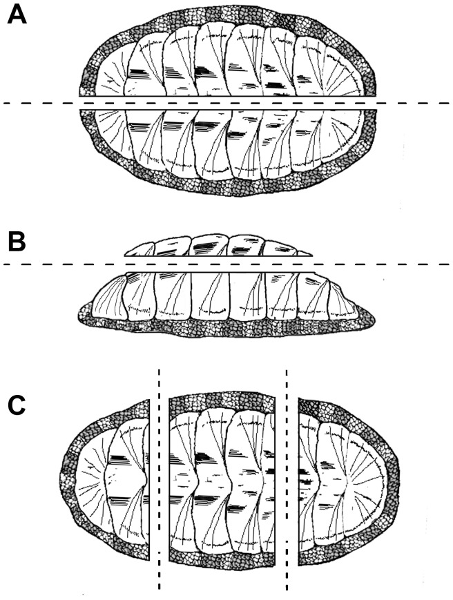 (A) Dorsoventral orientation to permit the cutting of