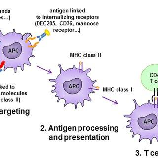 Antigen-presenting cell (APC)-targeting strategies. Antigen is...   Download Scientific Diagram