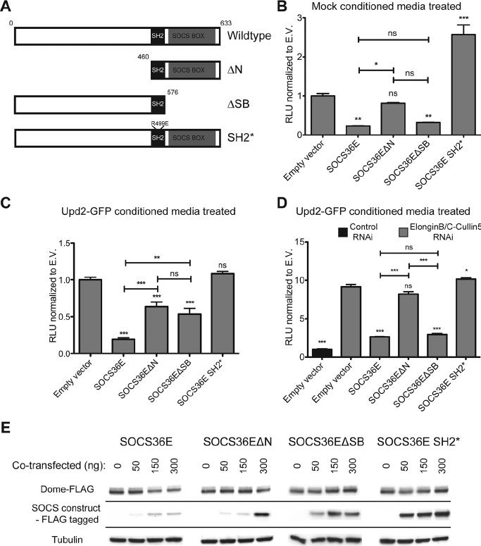 Drosophila SOCS36E negatively regulates JAK/STAT pathway