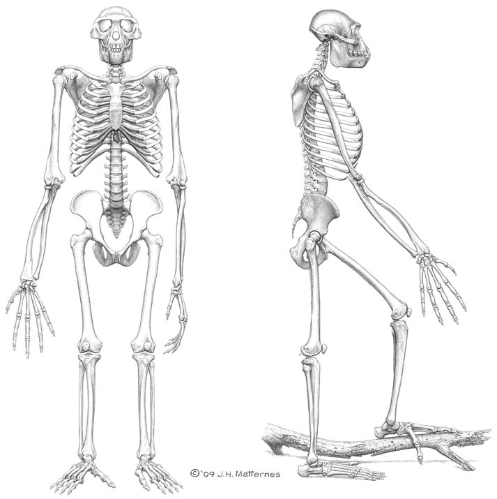 Reconstructed frontal and lateral views of the skeleton of