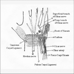 Ulnar Nerve Diagram 2009 Scion Xb Wiring Schematic Of Median And Their Relations