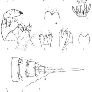 Stenodiplosis spartinae. Fig. 14. Adult Stenodiplosis