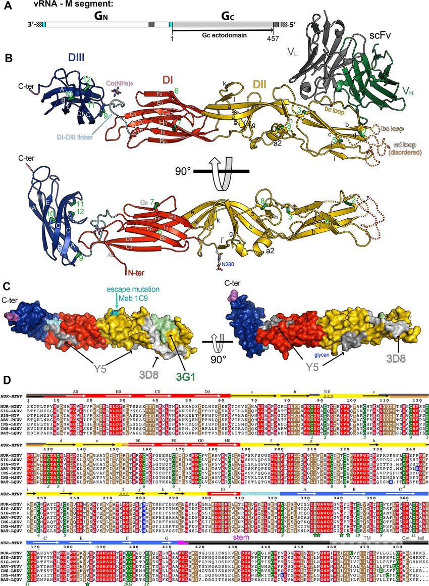 Structure of Hantaan virus Gc. A) Organization of the hantavirus M ...