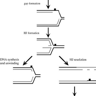 Mechanisms of HR. Initiation of recombination by a double