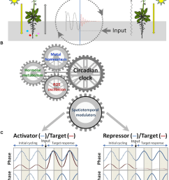 signaling crosstalk among circadian clock hormones and metal download scientific diagram [ 850 x 1173 Pixel ]