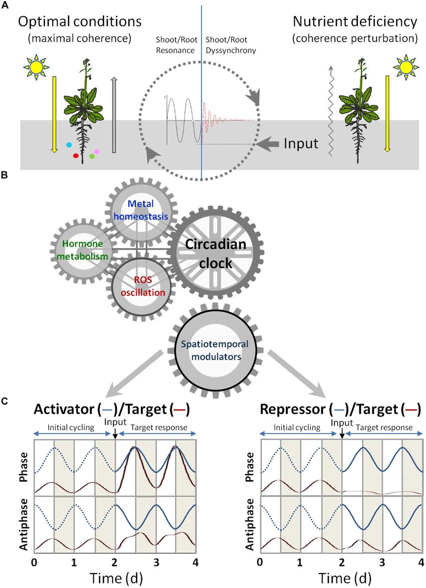 medium resolution of signaling crosstalk among circadian clock hormones and metal download scientific diagram