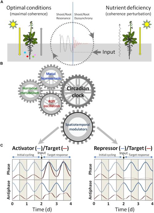 small resolution of signaling crosstalk among circadian clock hormones and metal download scientific diagram