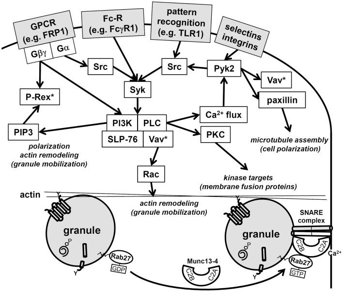 Schematic of neutrophil signaling pathways regulating