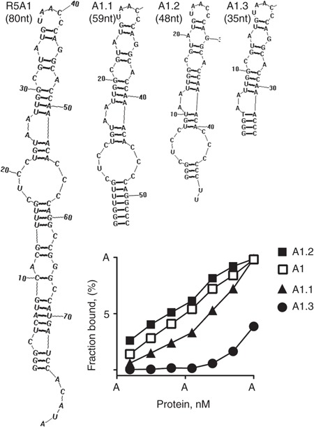 Secondary structure-guided truncation of the R5A1 aptamer