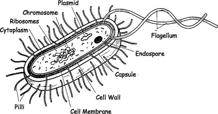 The schematic diagram of bacterial cell structure.