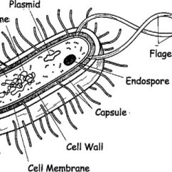 Bacteria Structure Diagram Gretsch Electromatic G5120 Wiring The Schematic Of Bacterial Cell Download
