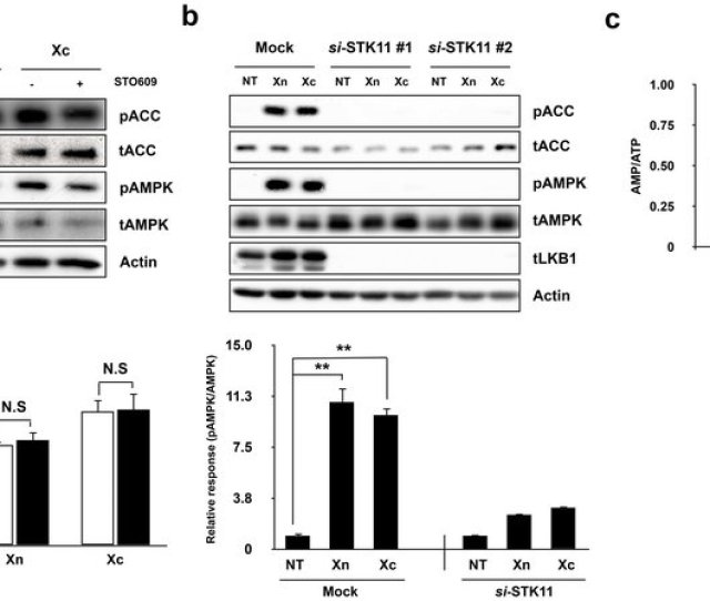 Xn And Xc Activate Ampk Via The Lkb1 Signaling Pathway A Indicated Agents Were Treated For 5 Min And 5 Mm Concentration With Or Without 30 Min