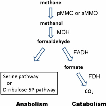 Pathways for methane utilization. pMMO particulate methane