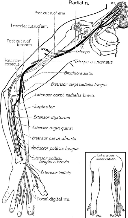 Course and distribution of the radial nerve. (From