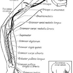 Radial Nerve Diagram 1993 Chevy 1500 Alternator Wiring Course And Distribution Of The From Haymaker Woodall 2 With
