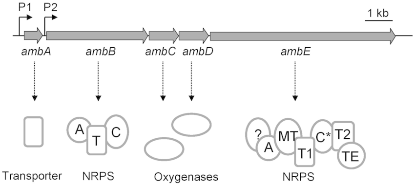 Organization of the amb gene cluster in the Pseudomonas