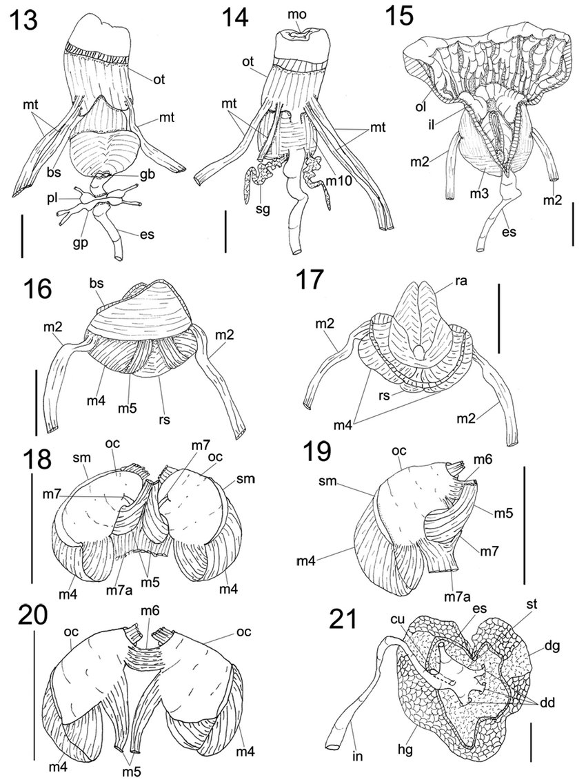 hight resolution of actinocyclus verrucosus details of digestive system 13 foregut and nerve ring ventral view