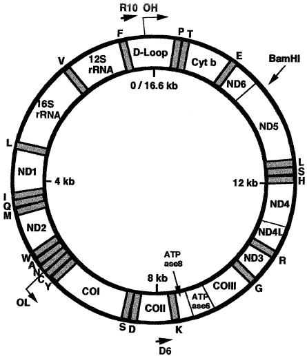 Schematic representation of mitochondrial DNA. D-Loop ϭ