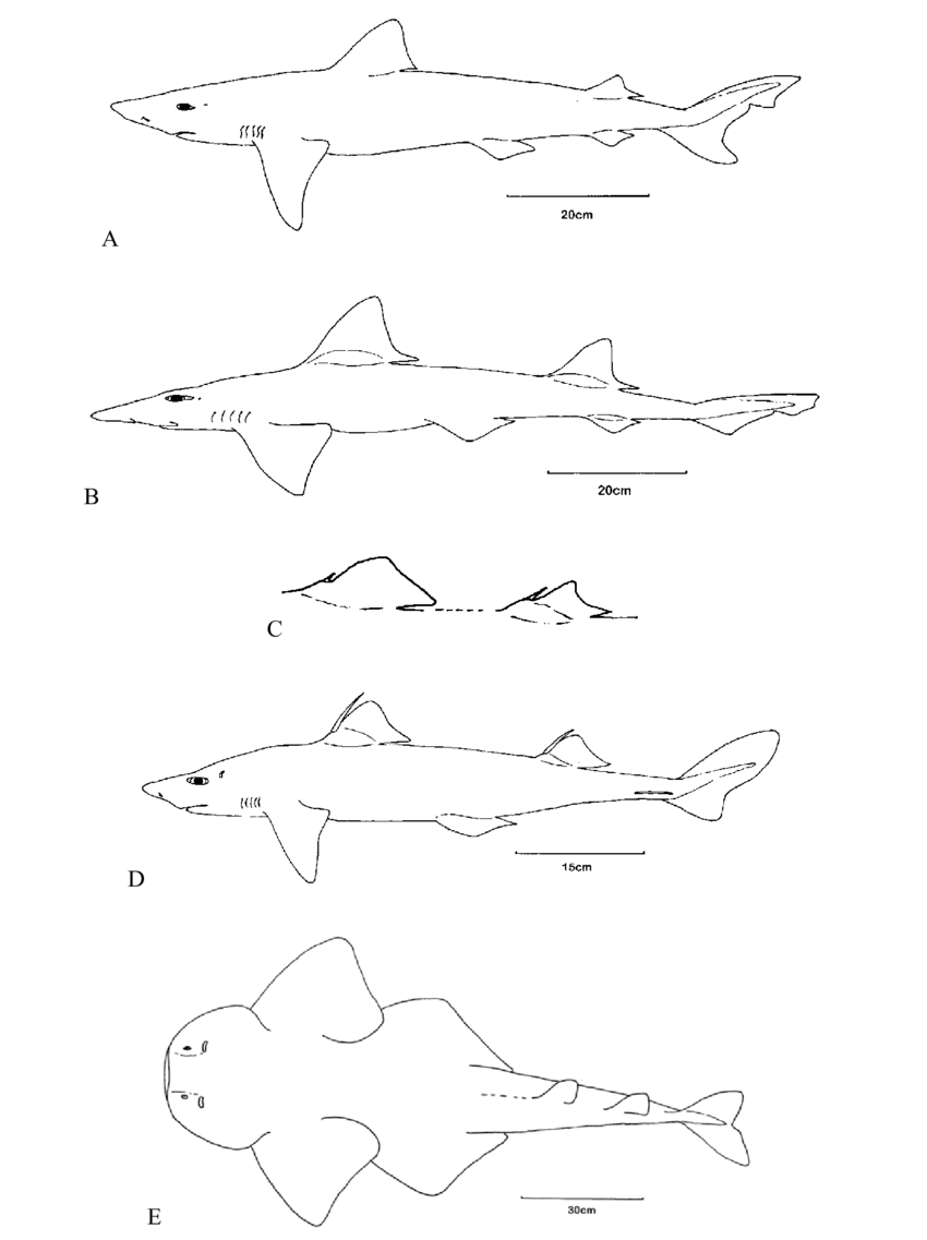 hight resolution of habit drawings of maltese sharks diagrams are not shown to scale scale bar length