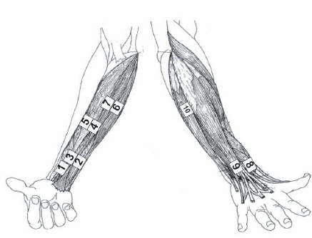 Position of the EMG electrodes on the lower arm
